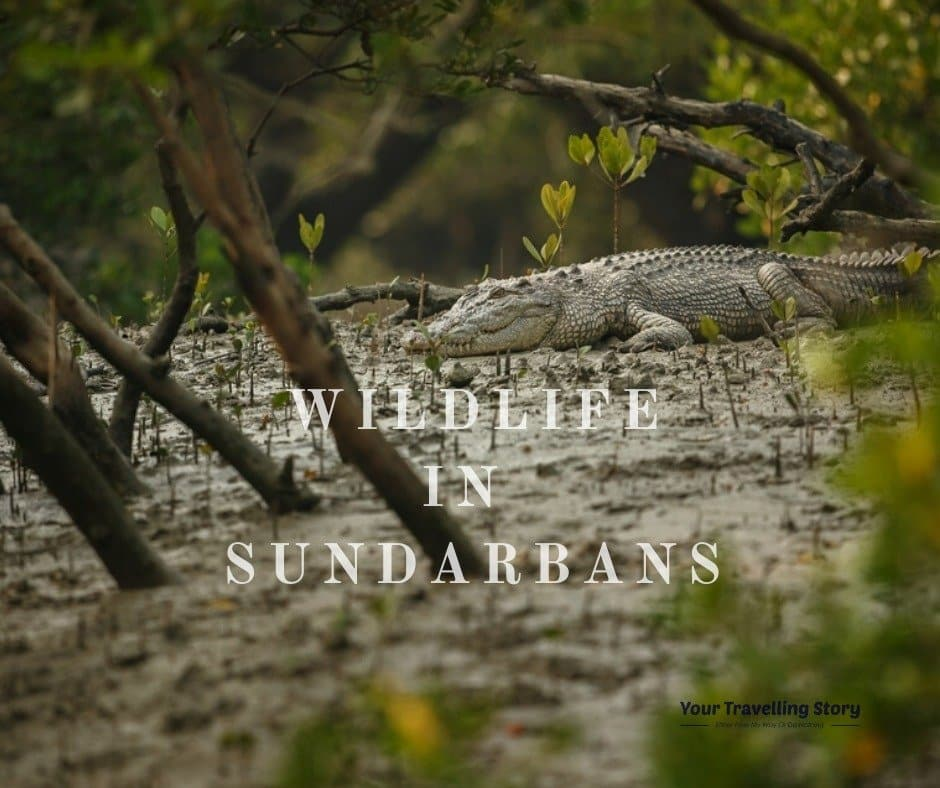 Wildlife in Sundarbans