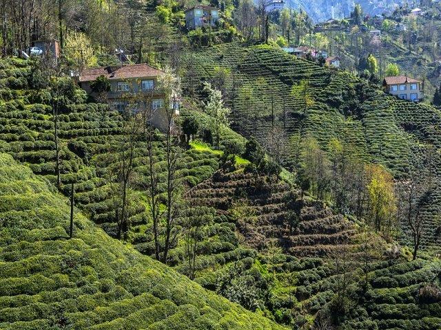 Palampur- Tea estate of Himachal Pradesh